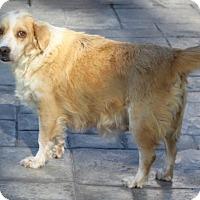 Adopt A Pet :: Honey - La Habra Heights, CA