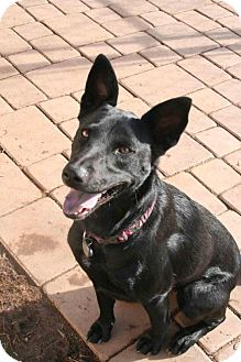German Shepherd Dog/Doberman Pinscher Mix Dog for adoption in El Cajon, California - Lucy, Adoption Pending