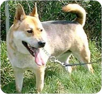 Norwegian Elkhound/German Shepherd Dog Mix Dog for adoption in Katy, Texas - Roxanne