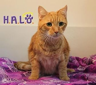 Domestic Shorthair Cat for adoption in Sebastian, Florida - Wyatt