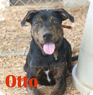 Rottweiler/Labrador Retriever Mix Dog for adoption in Orangeburg, South Carolina - Otto