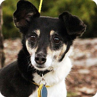 Jack Russell Terrier Mix Dog for adoption in Hayden, Idaho - Jackie