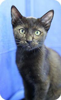 Domestic Shorthair Kitten for adoption in Winston-Salem, North Carolina - Marlon