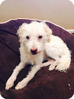 Poodle (Miniature) Mix Dog for adoption in Sharon, Connecticut - Harley