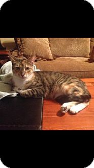 British Shorthair Cat for adoption in Hammond, Louisiana - Tilly