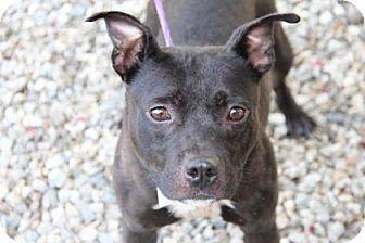 Pit Bull Terrier Mix Dog for adoption in Greensboro, North Carolina - Piglet