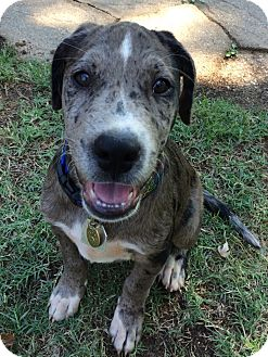 Labrador Retriever/Catahoula Leopard Dog Mix Puppy for adoption in Yukon, Oklahoma - Granite