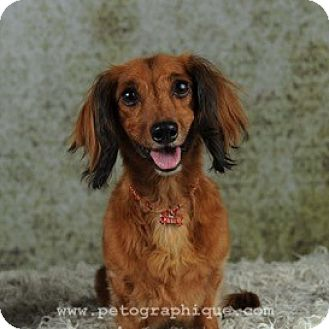 Dachshund Dog for adoption in Las Vegas, Nevada - Sasha