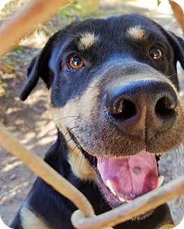 Rottweiler/Labrador Retriever Mix Dog for adoption in Kingston, Tennessee - Sable