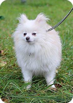 Pomeranian Mix Dog for adoption in Waldorf, Maryland - Zailee ADOPTION PENDING
