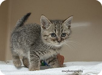 Domestic Shorthair Kitten for adoption in Lincolnton, North Carolina - Shortie