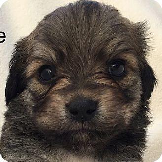 Havanese/Labrador Retriever Mix Puppy for adoption in La Costa, California - Zeke