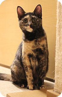 Domestic Shorthair Kitten for adoption in Carlisle, Pennsylvania - Juliet