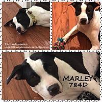 Adopt A Pet :: Marley - Spring, TX