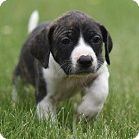 Adopt A Pet :: Venetia - Mechanicsburg, PA