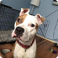 American Staffordshire Terrier Mix Dog for adoption in Cherry Hill, New Jersey - Holt