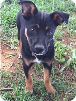 Labrador Retriever Mix Puppy for adoption in Monroe, North Carolina - Donna