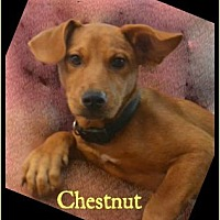 Adopt A Pet :: Chestnut - Jefferson, GA
