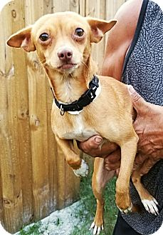 Chihuahua Mix Dog for adoption in Osteen, Florida - Quincy