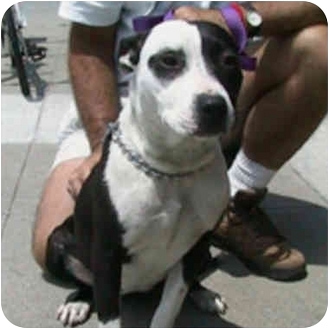American Pit Bull Terrier Mix Dog for adoption in Berkeley, California - Tess