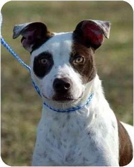 Pointer/American Staffordshire Terrier Mix Dog for adoption in Portsmouth, Rhode Island - Petey