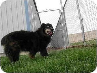 Anatolian Shepherd Dog for adoption in Meridian, Idaho - Rodeo