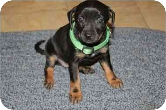 Chihuahua Mix Puppy for adoption in Harrisonburg, Virginia - Betsey