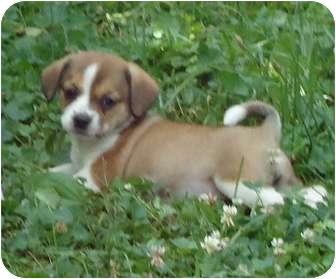 Pekingese/Shih Tzu Mix Puppy for adoption in Allentown, Pennsylvania - Reese