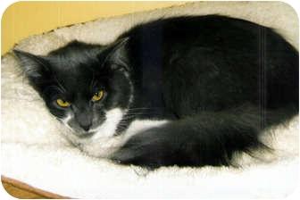 Domestic Longhair Cat for adoption in Medway, Massachusetts - Chai