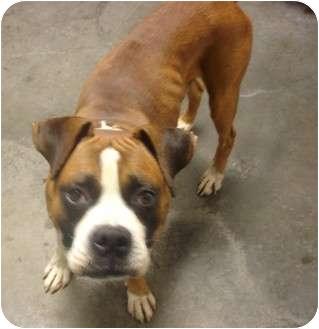 Boxer Dog for adoption in Manassas, Virginia - Buzz