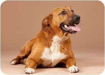 Labrador Retriever/Nova Scotia Duck-Tolling Retriever Mix Dog for adoption in Westport, Connecticut - *Rachel - PENDING