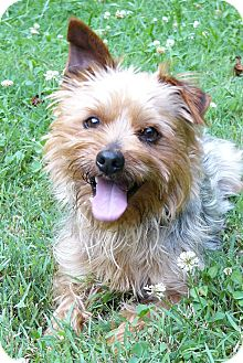 yorkie for adoption in nc dover adopted dog mocksville nc yorkie yorkshire 6734