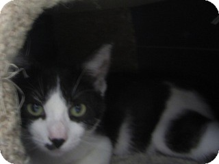 Domestic Shorthair Kitten for adoption in Warren, Michigan - Joplin