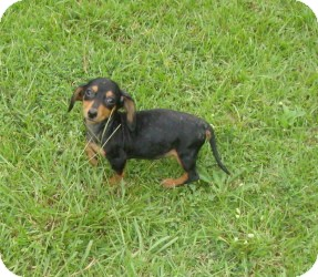 Dachshund Puppy for adoption in Raleigh, North Carolina - Heidi