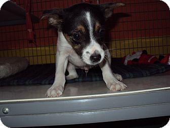 Rat Terrier Puppy for adoption in BLACKWELL, Oklahoma - LUKE