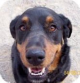 Rottweiler/Australian Shepherd Mix Dog for adoption in Silver City, New Mexico - Sadie