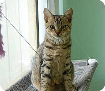 Domestic Shorthair Kitten for adoption in Bradenton, Florida - Soloman