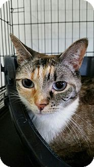 Calico Cat for adoption in Speonk, New York - Madison aka Tink