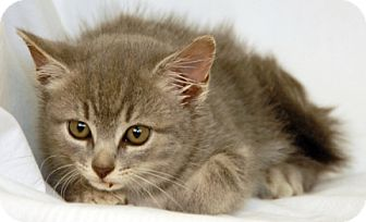 Domestic Shorthair Kitten for adoption in Newland, North Carolina - Queen