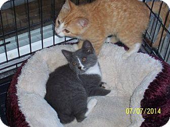 Domestic Shorthair Kitten for adoption in Monterey, Virginia - KC