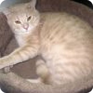 Domestic Shorthair Cat for adoption in Powell, Ohio - Lenney