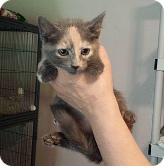 Domestic Shorthair Kitten for adoption in Lawrenceville, Georgia - Carrie