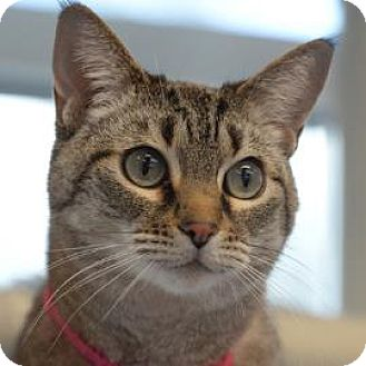 Domestic Shorthair Cat for adoption in Denver, Colorado - Eva