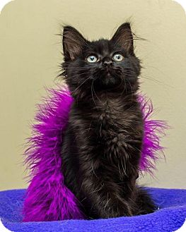 Domestic Mediumhair Kitten for adoption in Bellingham, Washington - Sabrina
