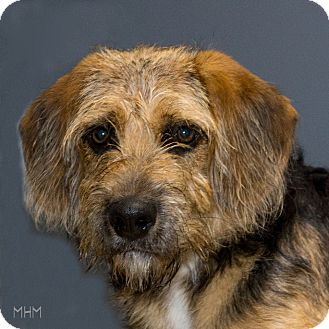 Airedale Terrier Mix Dog for adoption in Naperville, Illinois - Nemo