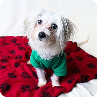 Maltese Mix Dog for adoption in Wilmington, Delaware - Flurry