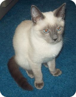 Siamese Kitten for adoption in Green Cove Springs, Florida - Birdy