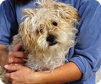 Yorkie, Yorkshire Terrier/Poodle (Miniature) Mix Dog for adoption in Lathrop, California - Davey