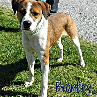 Boxer/Hound (Unknown Type) Mix Dog for adoption in Lawrenceburg, Tennessee - Brantley