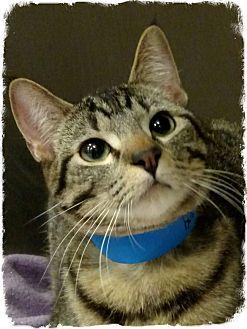 Domestic Shorthair Cat for adoption in Pueblo West, Colorado - Ben